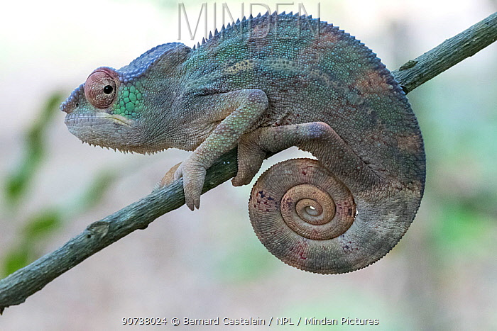 Panther chameleon (Furcifer pardalis) Ankarana National Park, Madagascar