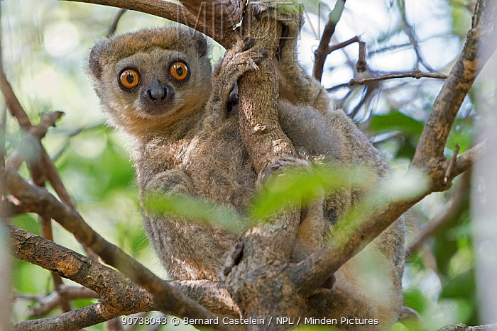 Western woolly lemur (Avahi occidentalis) alert individual up tree, Ankarafantsika National Park, Madagascar