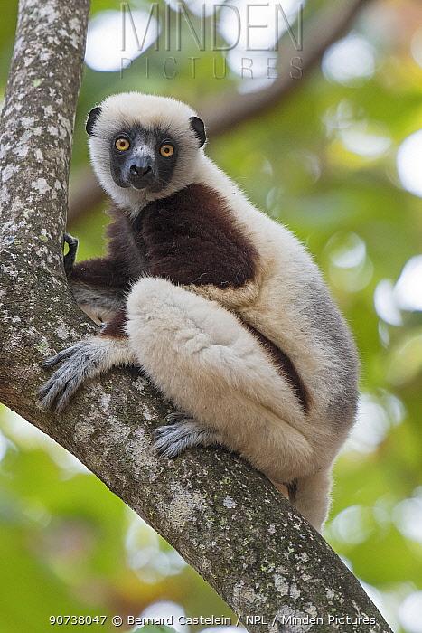 Coquerel's sifaka (Propithecus coquereli) curious individual up in tree, Ankarafantsika National Park, Madagascar