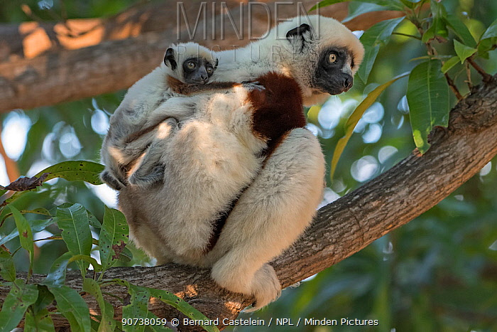 Coquerel's sifaka (Propithecus coquereli) female with 3 weeks old baby, Mangatsa, Madagascar