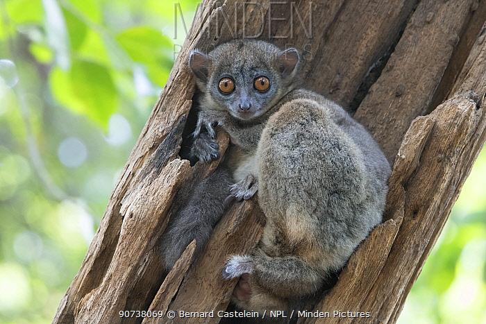 Ankarana sportive lemur (Lepilemur ankaranensis), Ankarana National Park, Madagascar