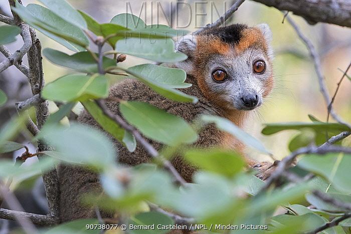 Crowned lemur (Eulemur coronatus) male in tree, Ankarana National Park, Madagascar