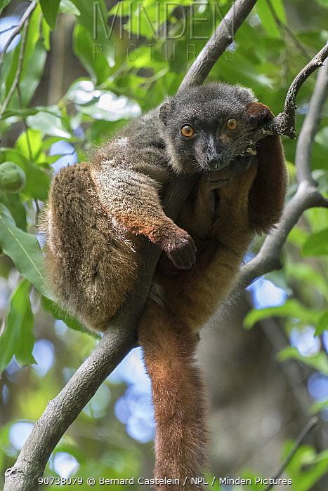 Sanford's brown lemur (Eulemur sanfordi) male, Ankarana National Park, Madagascar