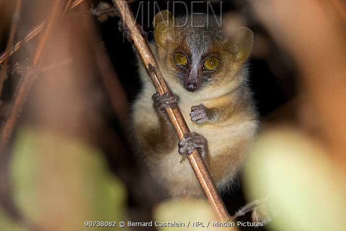 Golden-brown mouse lemur (Microcebus ravelobensis), Ankarafantsika National Park, Madagascar