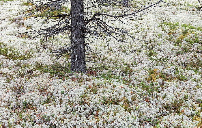 Iceland moss (Cetraria islandica) in flower, Rondane, Norway July