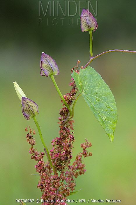 Great bindweed (Calystegia sepium), Peerdsbos, Brasschaat, Belgium August