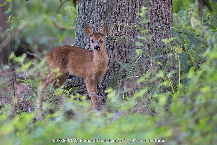 Roe deer (Capreolus capreolus) juvenile in woodland,  Peerdsbos, Brasschaat, Belgium August