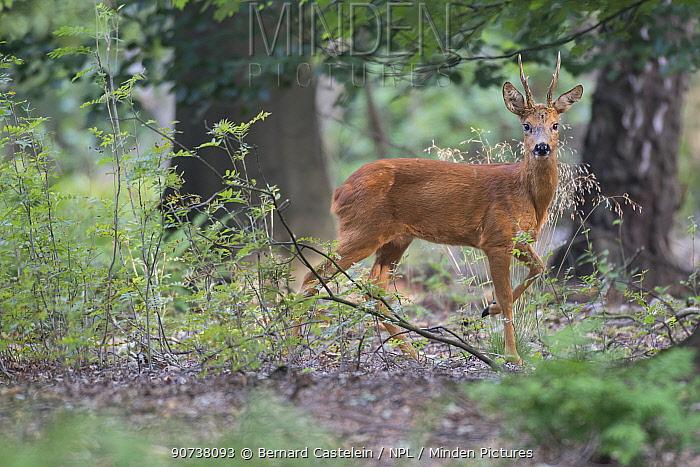 Roe deer (Capreolus capreolus) male buck in woodland,  Peerdsbos, Brasschaat, Belgium August