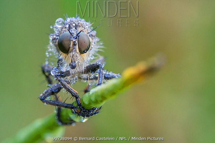Robber fly (Eutolmus rufibarbis) De Inslag, Brasschaat, Belgium July