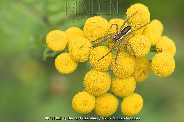 Raft spider (Dolomedes fimbriatus) on Tansy (Tanacetum vulgare), Klein Schietveld, Brasschaat, Belgium August