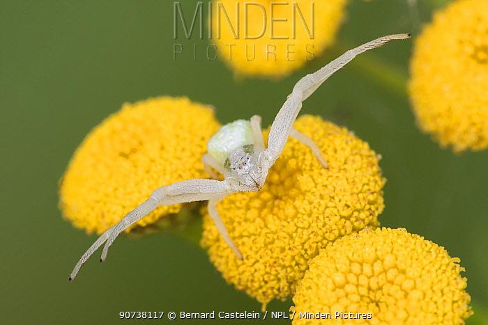 Goldenrod crab spider (Misumena vatia) on Tansy (Tanacetum vulgare), Klein Schietveld, Brasschaat,  Belgium August