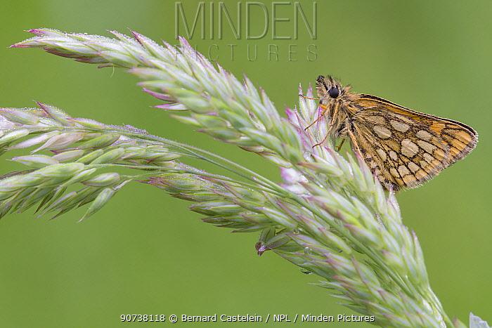 Chequered skipper butterfly (Carterocephalus palaemon), Groot Schietveld, Wuustwezel, Belgium May
