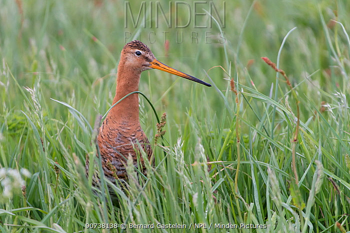 Black-tailed godwit (Limosa limosa) portrait in tall grass, Texel, The Netherlands May