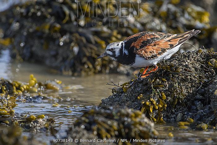 Turnstone (Arenaria interpres) foraging at coast, Texel,The Netherlands May
