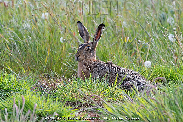Brown hare (Lepus capensis) resting in grass, Texel, The Netherlands May