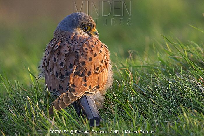 Common kestrel (Falco tinnunculus) hunkered down in grass, Zeeland, the Netherlands, December