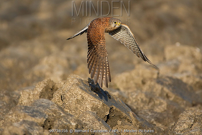 Common kestrel (Falco tinnunculus) in flight over rocks, Zeeland, the Netherlands, December