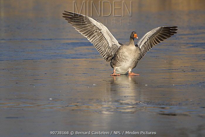 Greylag goose (Anser anser) landing on ice, Antwerp, Belgium February
