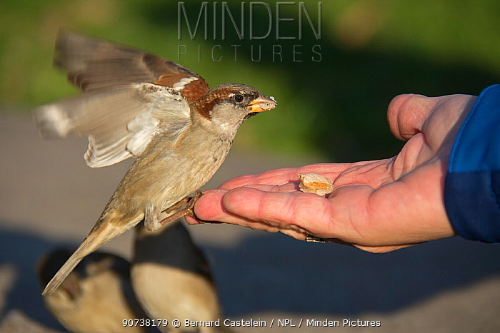 House sparrows (Passer domesticus) eating food from human hand, Berlin, Germany, November
