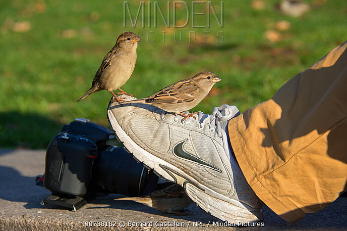 House sparrow (Passer domesticus) perched on shoe Berlin, Germany, November