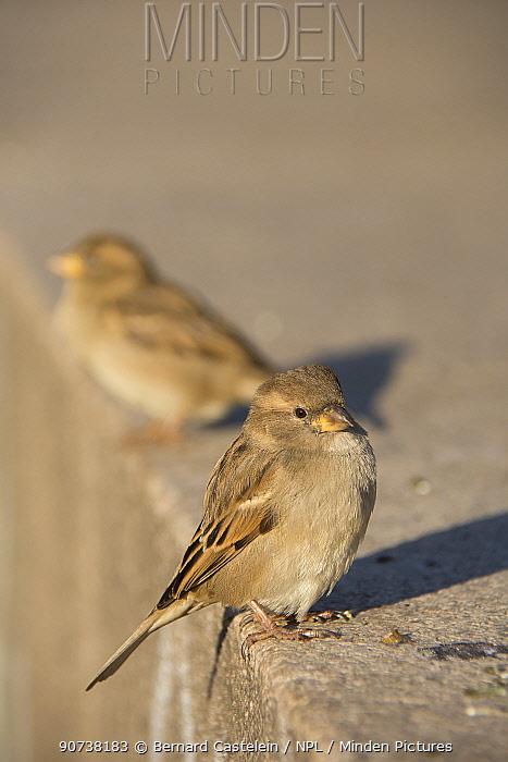 House sparrow (Passer domesticus) Berlin, Germany, November