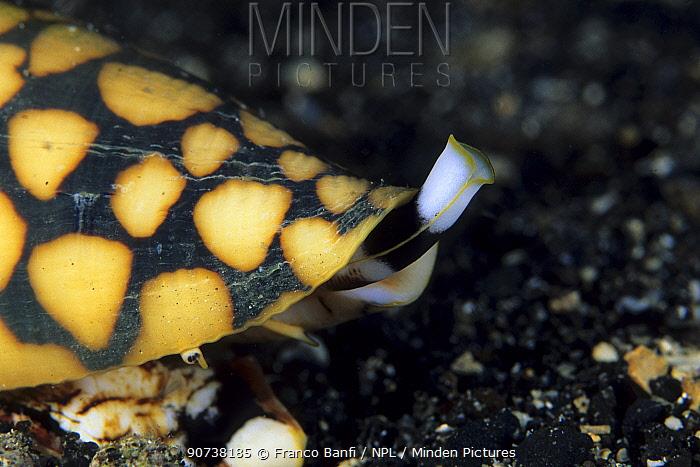 Marble cone shell (Conus marmoreus) Walindi, West New Britain, Papua New Guinea, Pacific Ocean