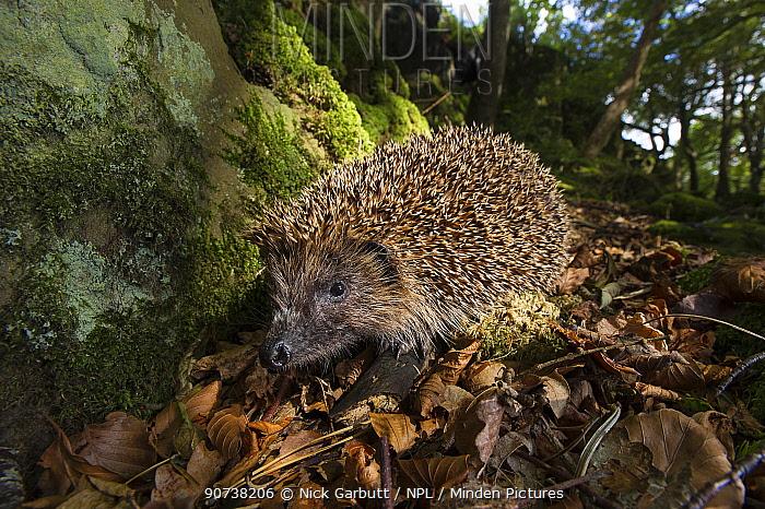 European or Common hedgehog (Erinaceus europaeus) foraging in leaf litter. Isle of Mull, Scotland, UK, June.