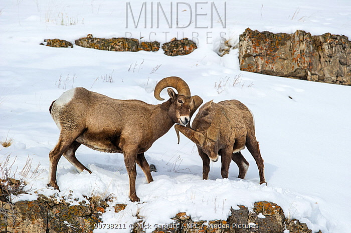 Rocky Mountain Bighorn Sheep (Ovis canadensis canadensis) male sparring / fighting Lamar Valley, Yellowstone National Park, Wyoming, USA. January