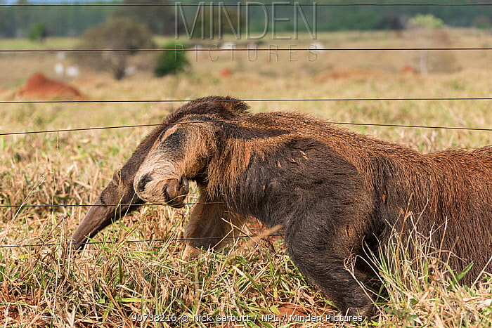 Adult Giant Anteater (Myrmecophaga tridactyla) climbing through a cattle fence. Southern Pantanal, Moto Grosso do Sul State, Brazil. September.