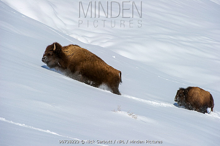 American bison (Bison bison) with calf pushing through deep snow in the Hayden Valley. Yellowstone National Park, Wyoming, USA. January.