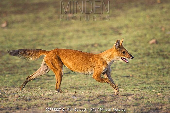 Indian Wild Dog or Dhole (Cuon alpinus) running. Pench National Park, Madhya Pradesh, India.