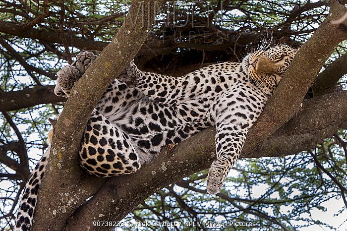 Leopard (Panthera pardus) male sleeping / resting on a tree bough. Long Gully near Ndutu, Ngorongoro Conservation Area, Tanzania. April.