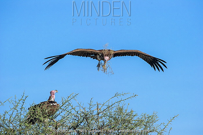 Lappet-faced vulture (Torgos tracheliotos) carrying nesting material returning to its mate at the nest. Serengeti National Park, Tanzania.