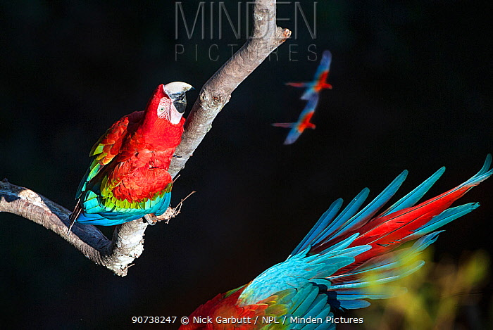 Red-and-green macaws (Ara chloropterus) one perched whilst others are in flight, Buraco das Araras (Sinkhole of the Macaws), Jardim, Mato Grosso do Sul, Brazil. September. Composite image.