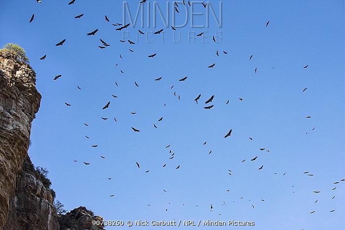 Rppells griffon vultures (Gyps rueppellii) over Ol Karien Gorge, Ngorongoro Conservation Area, Tanzania.