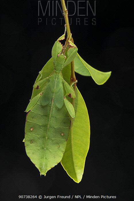 Australian leaf insect (Phyllium monteithi) on black background. Queensland,Australia.