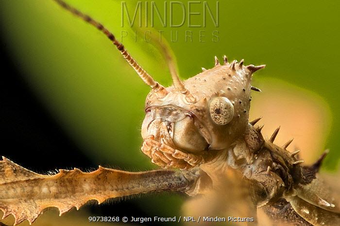 Spiny leaf insect (Extatosoma tiaratum), Queensland, Australia.