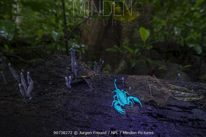 Rainforest scorpion glowing blue in UV light at night.  Queensland, Australia.