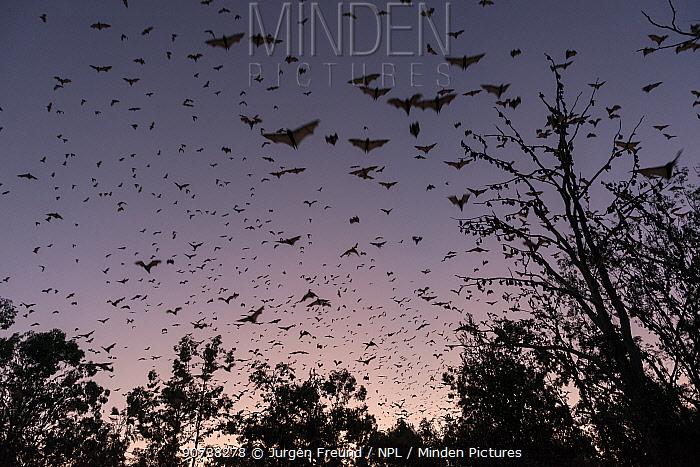 Little red flying-fox (Pteropus scapulatus) group flying at dusk, Atherton Tablelands, Queensland, Australia.