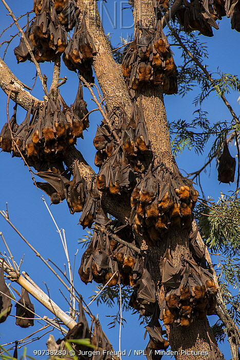 Little red flying-foxes (Pteropus scapulatus)  roosting on inland White mahogany trees (Eucalyptus acmenoides), Atherton Tablelands, Queensland,Australia.