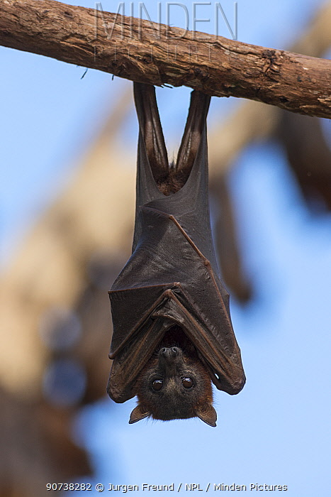 Little red flying-fox (Pteropus scapulatus)  roosting on inland white mahogany, Atherton Tablelands, Queensland, Australia.