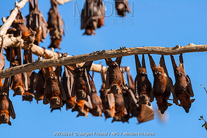 Little red flying-foxes (Pteropus scapulatus)  roosting on inland White mahogany trees (Eucalyptus acmenoides),  Atherton Tablelands, Queensland, Australia.