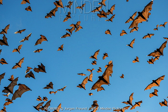 Little red flying-foxes (Pteropus scapulatus)  flying to roost on inland white mahogany trees ,   Atherton Tablelands, Queensland,Australia.