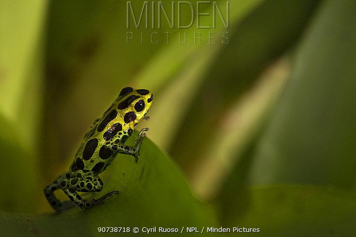 Poison dart frog (Ranitomeya variabilis) 1000m altitude, Tarapoto, Amazon, Peru
