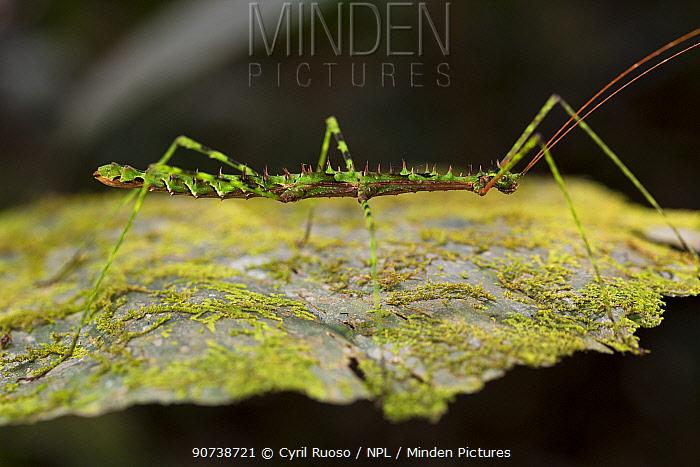 Phasme / Walking stick insect, unknown species, 1000m altitude, Tarapoto, Amazon, Peru