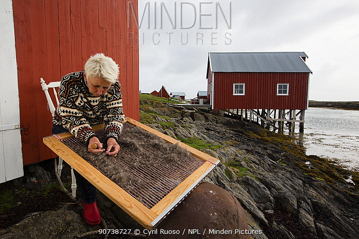 Hildegunn Nordum using traditional harp tool to clean down collected from nests of Common eider (Somateria mollissima) Lanan Island, Vega Archipelago, Norway June