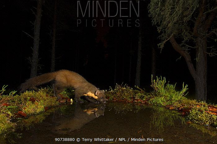 Pine marten (Martes martes) having drink at night, Black Isle, Scotland, UK. February, taken by camera trap.