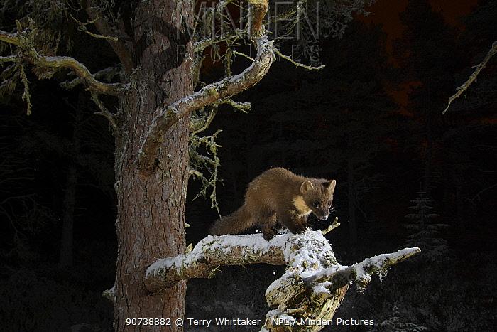 Pine marten (Martes martes) up (Pinus sp) tree at night, Black Isle, Scotland, UK. February, taken by camera trap.