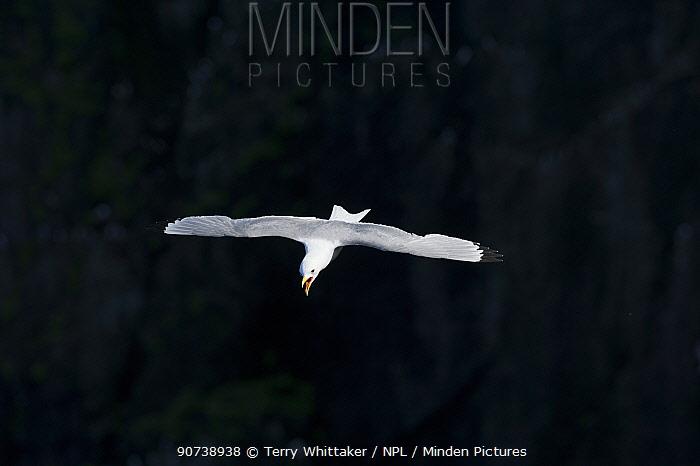 Kittiwake (Rissa tridactyla) in flight, Hlavkurbjarg, Hornvik, Hornstrandir, Iceland. July