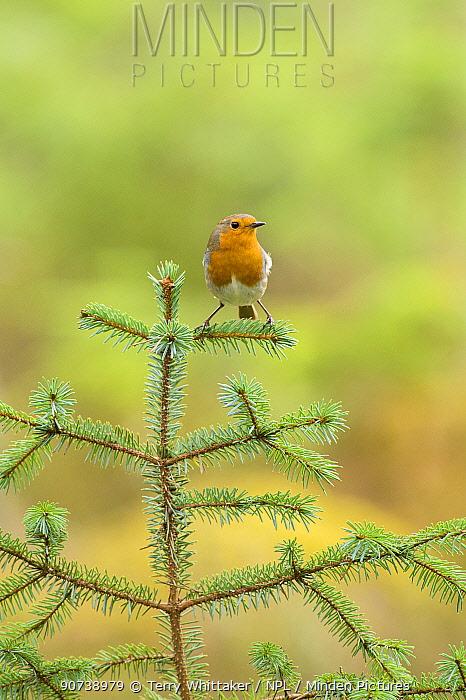 Robin (Erithacus rubecula) portrait on (Pinus sp), Black Isle, Scotland, UK March